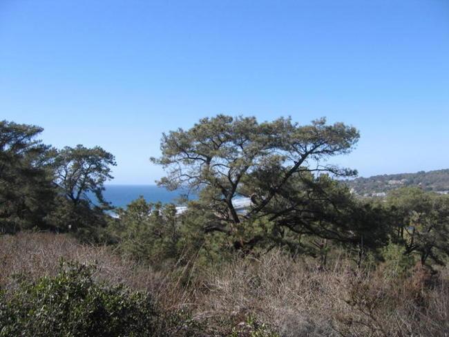 torrey pine pic